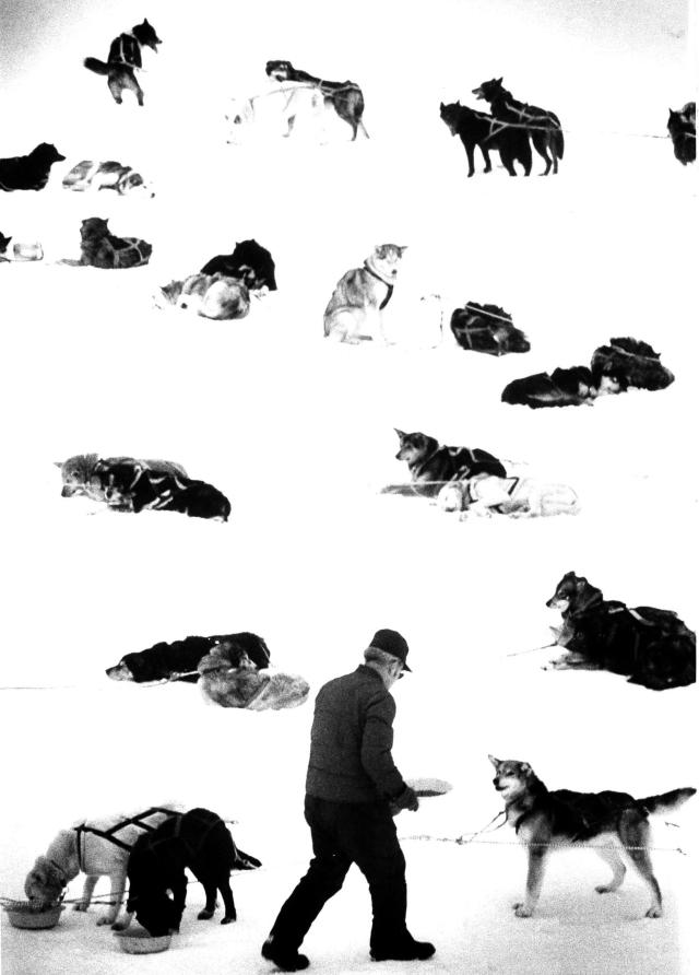 FILE - Iditarod musher Don Honea feeds his dog team at Skwenta, 125 miles into the 1,135 mile race from Anchorage to Nome, Alaska on March 7, 1984. (AP Photo, File)
