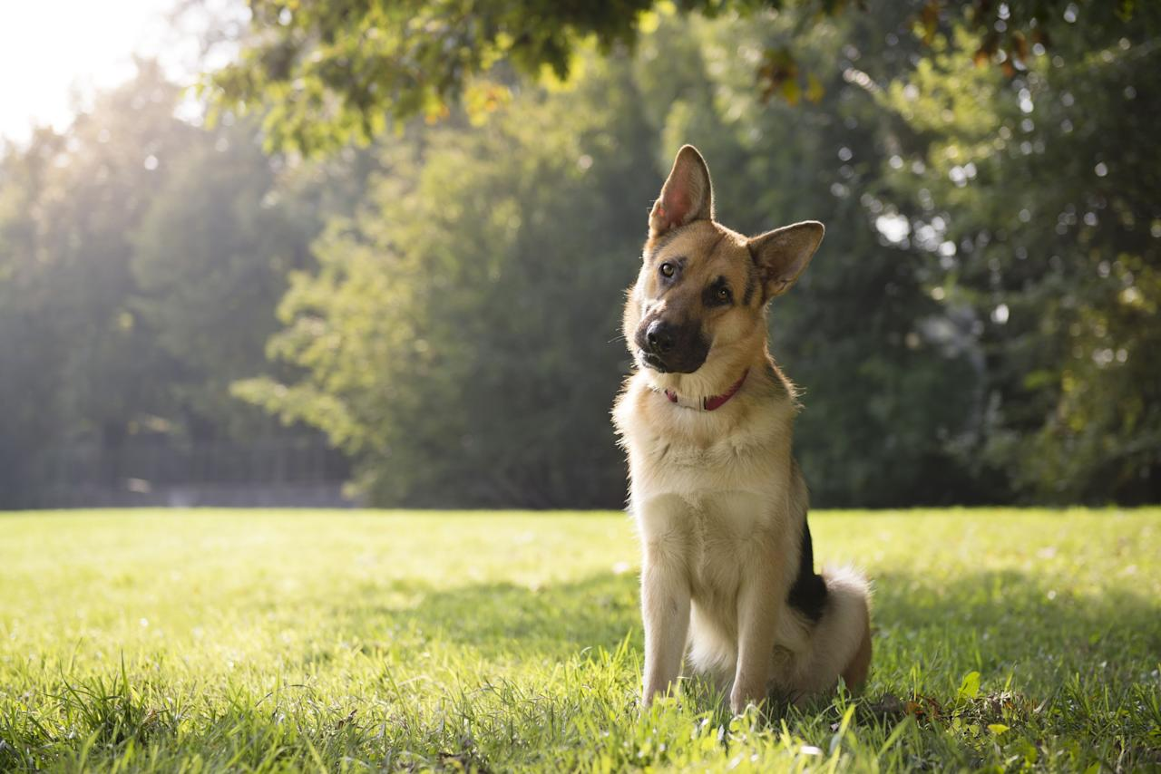 "<p>According to the <a rel=""nofollow"" href=""https://www.akc.org/dog-breeds/best-guard-dogs/"">American Kennel Club</a>, the most protective dogs are devoted and brave but not aggressive. If they are given the training they need when they're young, these pets will do everything they can to protect you, in a safe way. If you are rescuing an older dog, ask for their history and records when enquiring at the centre. Note: Dogs should never be aggressive towards other animals or humans.</p>"
