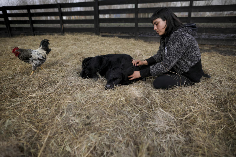 "Animal rights activist Melisa Lobo pets Apollo, a weeks-old black calf at her ""Wild Sanctuary,"" two hectares of land where animals live out their lives in La Plata, Argentina, Monday, Aug. 26, 2019. A fight is on over the Argentine identity pitting a growing number of vegetarians and vegans against meat-eaters in a country known for its abundant beef, gaucho cowboys and sacred ""asado"" barbecues. (AP Photo/Natacha Pisarenko)"