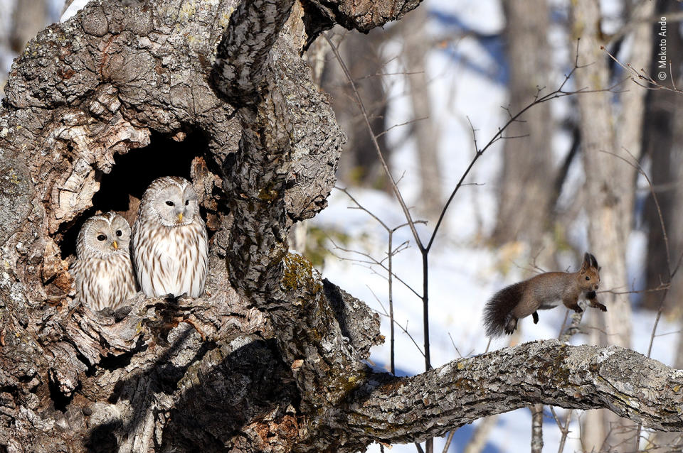 A red squirrel bounds away from its surprise discovery –a pair of Ural owls, very muchawake.