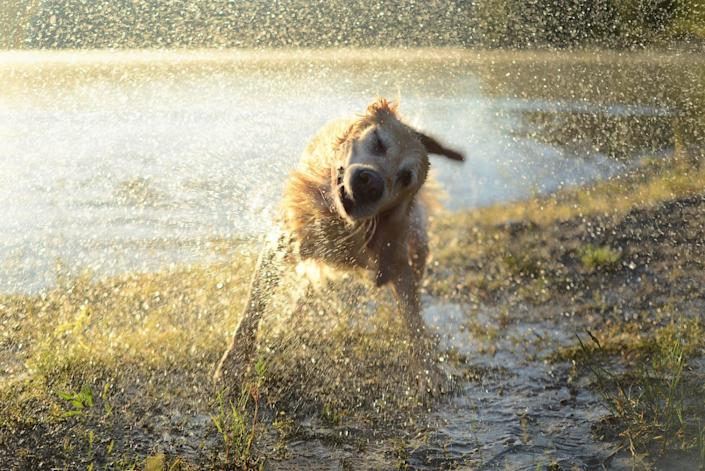 golden labrador shaking water off from the lake