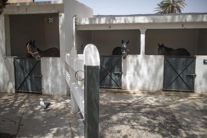 Horses in their stables at the SPANA shelter in Marrakech, Morocco, Wednesday, July 22, 2020. Morocco's restrictions to counter the coronavirus pandemic have taken a toll on the carriage horses in the tourist mecca of Marrakech. Some owners struggle to feed them, and an animal protection group says hundreds of Morocco's horses and donkeys face starvation amid the collapsing tourism industry. (AP Photo/Mosa'ab Elshamy)