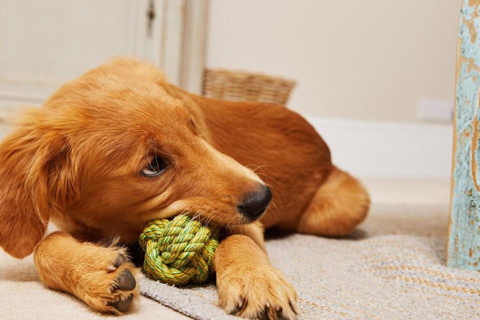 <p>Puppy love. Britons love of pets has never been greater</p> (@Moosingaround)