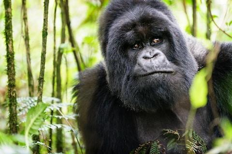 A mountain gorilla in the Virunga Mountains - Credit: GETTY