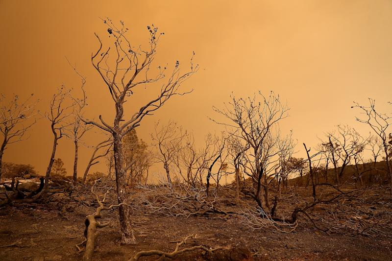 Trees burned by the Mendocino Complex Fire near Lodoga, California. (Justin Sullivan / Getty Images)