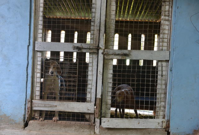 In this Dec. 31, 2013 photo, a pair of hunting hounds are housed in a kennel on the outskirts of Chaguanas, Trinidad. The twin-island country of Trinidad and Tobago, at least on paper, has transformed the southernmost island nation of the Caribbean into a no-trapping, no-hunting zone for about two years to give overexploited game animals some breathing room and to conduct wildlife surveys. Some 13,000 licensed hunters and their trained hounds are now forbidden to hunt on state lands. (AP Photo/David McFadden)