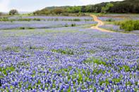 """<p>Endless meadows of flowers adorn the way along <a href=""""https://www.visitennis.org/bluebonnet.htm"""" rel=""""nofollow noopener"""" target=""""_blank"""" data-ylk=""""slk:this scenic road trip"""" class=""""link rapid-noclick-resp"""">this scenic road trip</a> through Ennis, Texas. The Bluebonnet Trail is designed as a drive-it-yourself tour, and winds its way through the waterfront communities of the Highland Lakes. Wildflowers are dressed in their finest and brightest colors and provide plenty of opportunities for gorgeous nature photography.</p>"""
