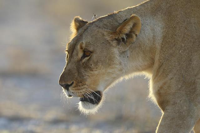 <p>A lioness walks from a wooded area and heads back toward an open field at the Namutoni camp in Etosha National Park. (Photo: Gordon Donovan/Yahoo News) </p>