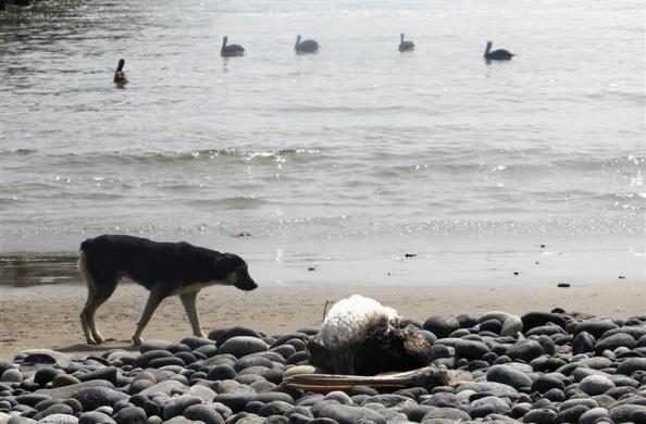A dog looks at a dead pelican lying along Cerro Azul beach in Canete, Lima, May 6, 2012. Peru's government declares a health alert along its northern coastline after at least 1,200 birds and an estimated 800 dolphins have washed up dead in the same area in recent months.
