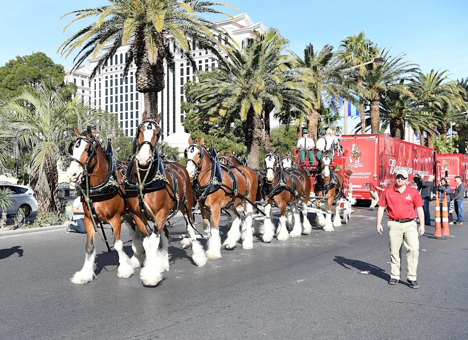 Budweiser Clydesdales in Las Vegas in 2017. (Denise Truscello/WireImage)