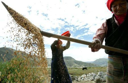 -PHOTO TAKEN 22AUG03-Tibetan women thresh barley in front of their house on the outskirts of Tsedang..