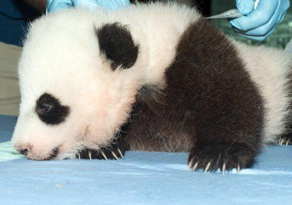 National Zoo's Panda Cub Named Bao Bao