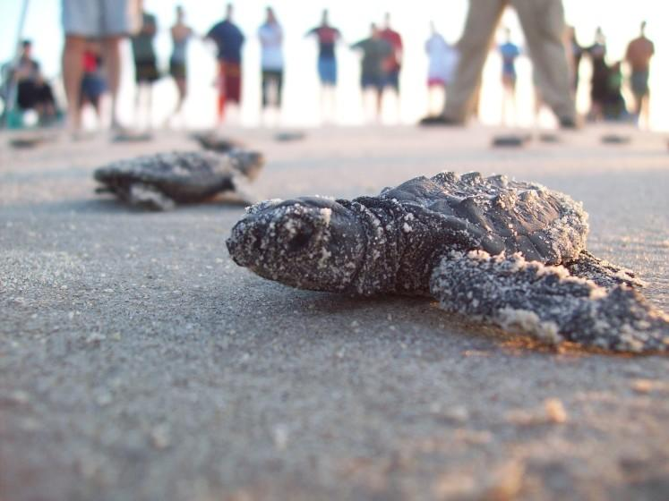 "Kemp's ridley sea turtles at Padre Island, off the Gulf Coast of Texas. <span class=""copyright"">(National Park Service)</span>"