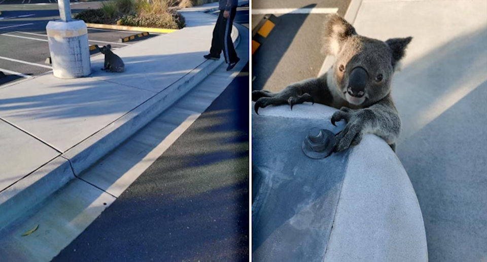 A koala at a Westfield car park at Coomera on the Gold Coast on Sunday. Source: Supplied