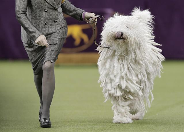 <p>A Komondor struts around the ring during the working group competition at the 141st Westminster Kennel Club Dog Show, Tuesday, Feb. 14, 2017, in New York. (AP Photo/Julie Jacobson) </p>