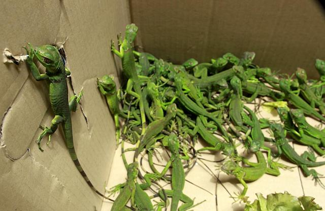<p>Rescued baby iguanas are pictured in a cardboard box, in an office of the Ministry of Environment in San Jose, May 25, 2015. Officers from the national police force of Costa Rica rescued 81 iguanas that had been confined to a box at a hotel in San Jose. It is presumed that the captive iguanas were the subject of an exotic pet smuggling, according to a press release issued by the Ministry of Public Security. The Ministry of the Environment rehabilitated the iguanas to a natural habitat today. (Photo: Juan Carlos Ulate/Reuters) </p>