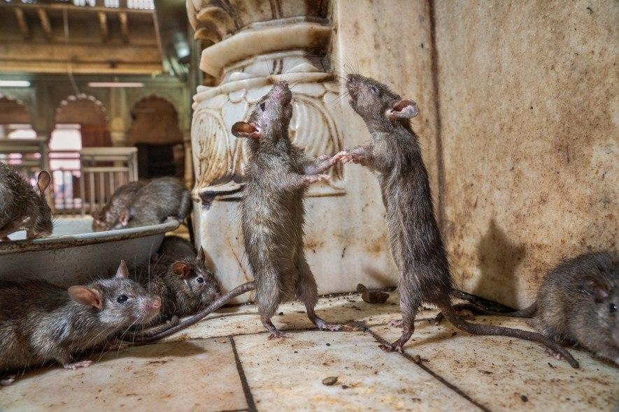 Two rats at Karni Mata Temple box to determine which is dominant. Rats are social animals that take good care of their offspring. Studies show they will free a fellow rat from a small cage – even if it means giving up a treat. This suggests to some researchers that rats feel empathy. (National Geographic/Charlie Hamilton James)