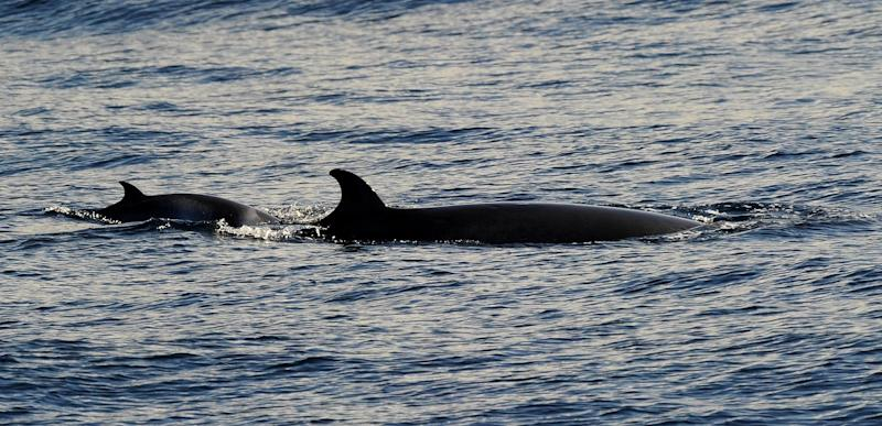 Japan plans to resume its slaughter of minke whales in the Antarctic Ocean next year, an official said Wednesday, despite an order from the UN's top court to stop all whaling in the area
