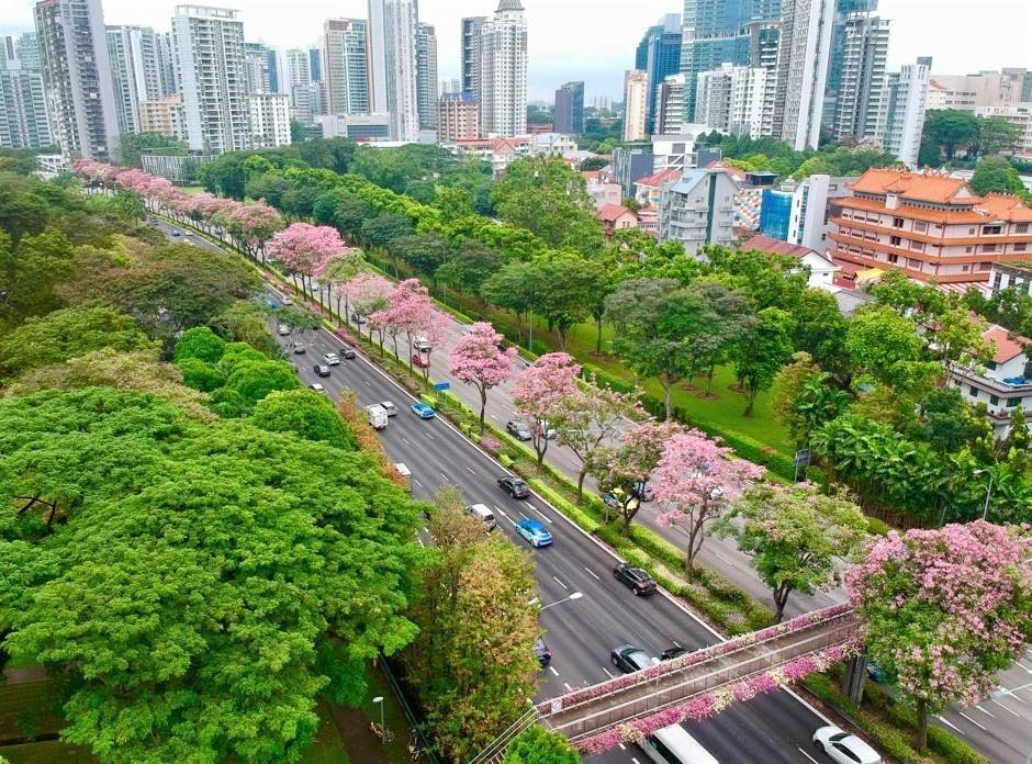 Trumpet trees flowering along Central Expressway near Moulmein Flyover. (PHOTO: National Parks Board)