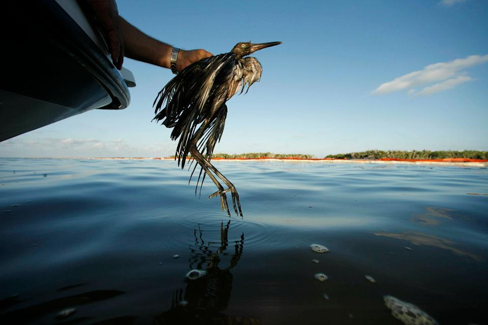 A heavily oiled bird from the waters of Barataria Bay, Louisiana, in June 2010. The Trump administration in 2017 ended criminal penalties imposed under the Migratory Bird Treaty Act designed to pressure companies into taking measures to prevent unintentional bird deaths. (Photo: ASSOCIATED PRESS)
