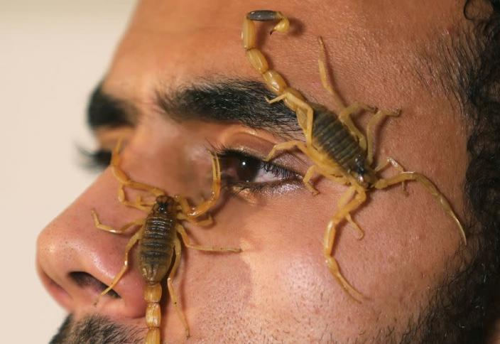 Mohamed Hamdy Boshta, 25-year-old, shows scorpions that he hunted on Egyptian deserts and shores, at his company Cairo Venom Company in Cairo