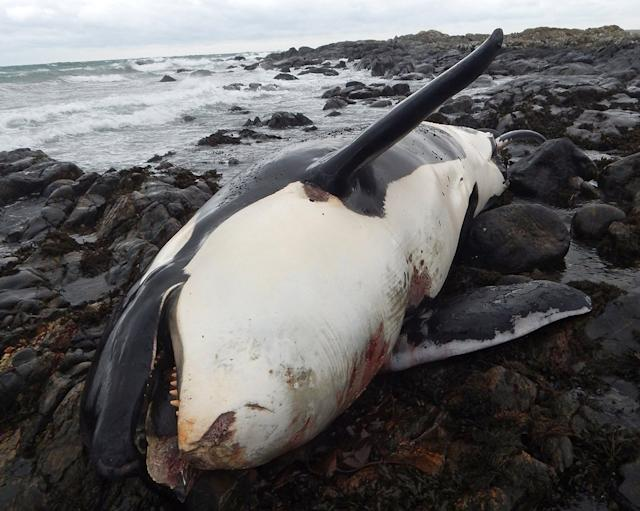 Lulu the orca, found stranded on Tiree