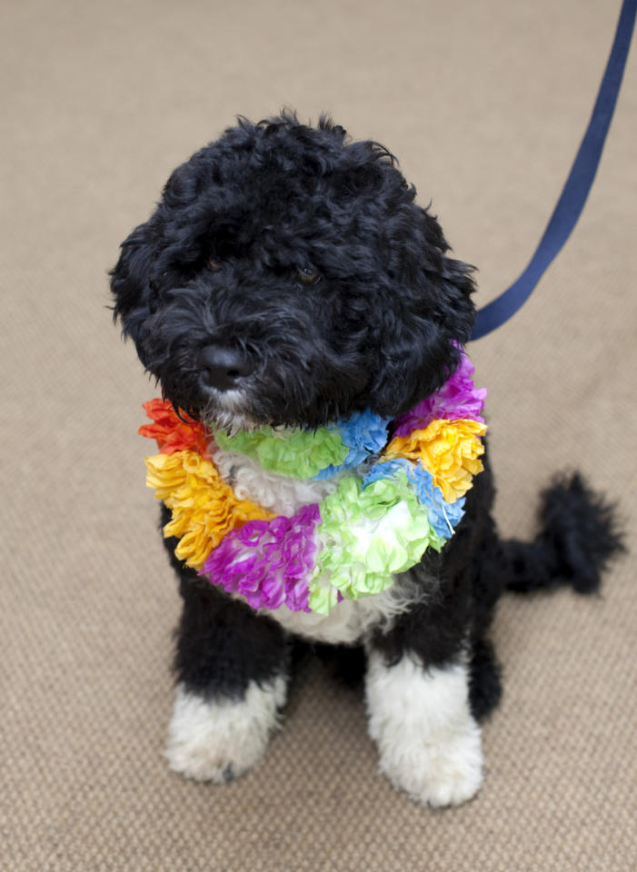 In this handout image released by the White House on April 12, 2009, the Obama's new dog, Bo, a six-month old Portuguese water dog sits in the White House in Washington, DC. Bo is a gift from Senator Ted Kennedy (D-MA) and and his wife Victoria to the President's daughters, Sasha and Malia.  (Photo by Pete Souza/The White House via Getty Images)