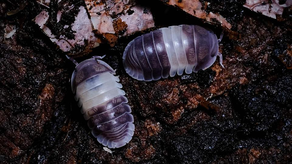 Land isopods come in a variety of colours and patterns like the striking monochromatic colouration of these Cubaris Panda Kings.