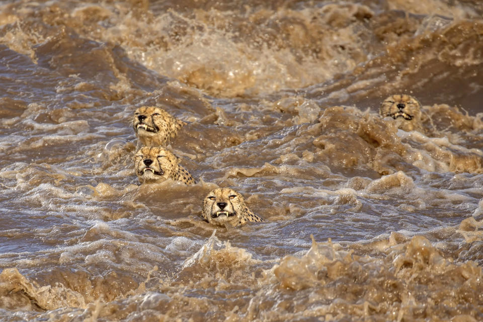 <p>Buddhilini de Soyza's shot of cheetahs crossing the flooded Talek River in Kenya's Masai Mara National Reserve took the 1st Place spot in the contest's Wildlife category. </p>