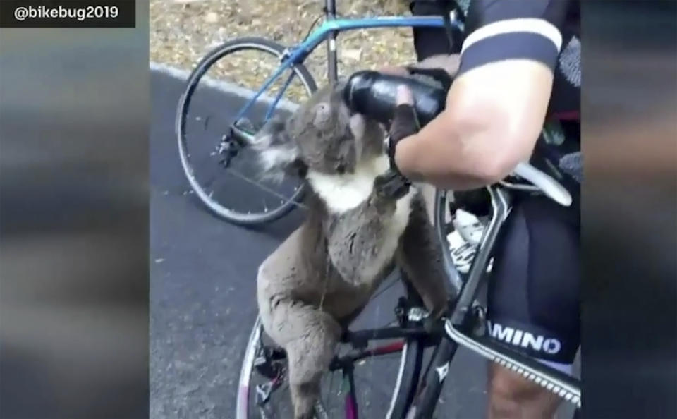 In this image from a video taken on Friday, Dec. 27, 2019, and provided by @bikebug2019, a koala drinks water, given by a cyclist in Adelaide, Australia. A South Australian cyclist has been approached by a thirsty koala searching for water as a heatwave continues to grip the state. (@bikebug2019 via AP)