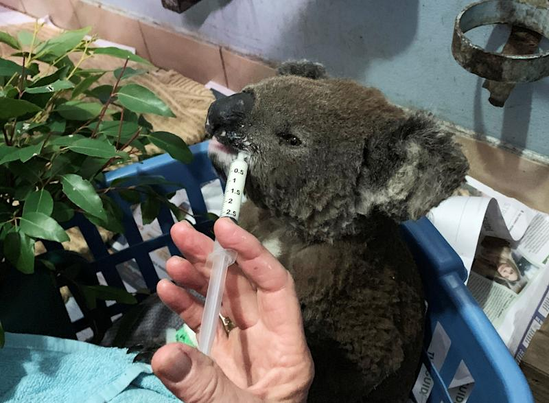 Close up of a koala in a basket being fed with a syringe.