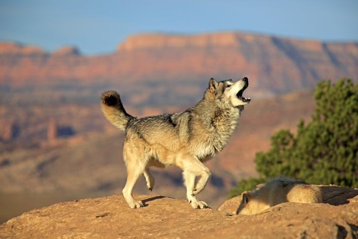 Gray wolf, timber wolf, (Canis lupus), Monument Valley, Utah, USA, adult howling.