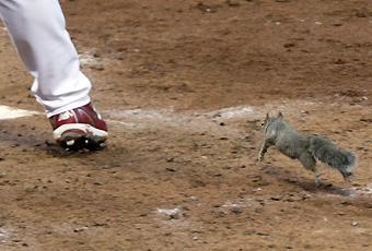 A squirrel runs toward home plate with Skip Schumaker batting in the fifth inning of Wednesday's NLDS Game 4 at Busch Stadium