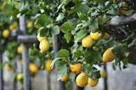 <p>Citrus trees are another great species to plant in March, or after the last frost. Planting bare-root lemon trees at this time of year allos the root systems to become well established before the next winter. Plant lemon trees in full sun for best results.</p>