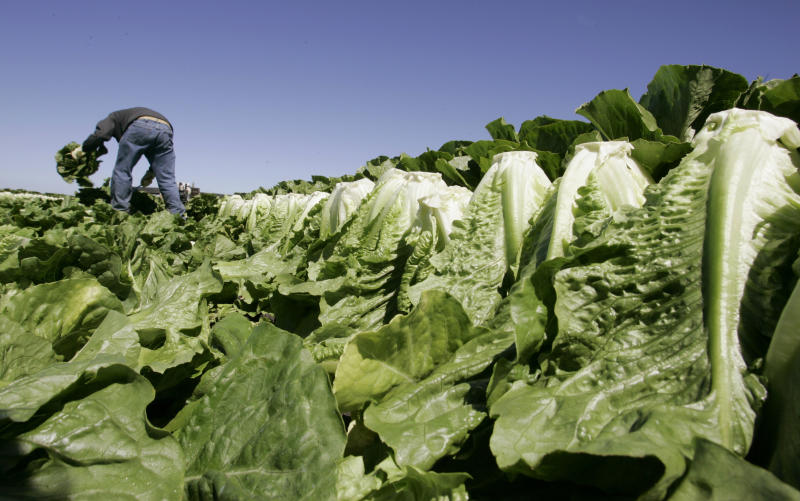 FILE - In this Aug. 16, 2007 file photo, a worker harvests romaine lettuce in Salinas, Calif. Leafy green vegetables were the leading source of food poisoning over an 11-year period, federal health officials say, Tuesday, Jan. 29, 2013. However, the most food-related deaths were from contaminated chicken and other poultry. (AP Photo/Paul Sakuma, File)