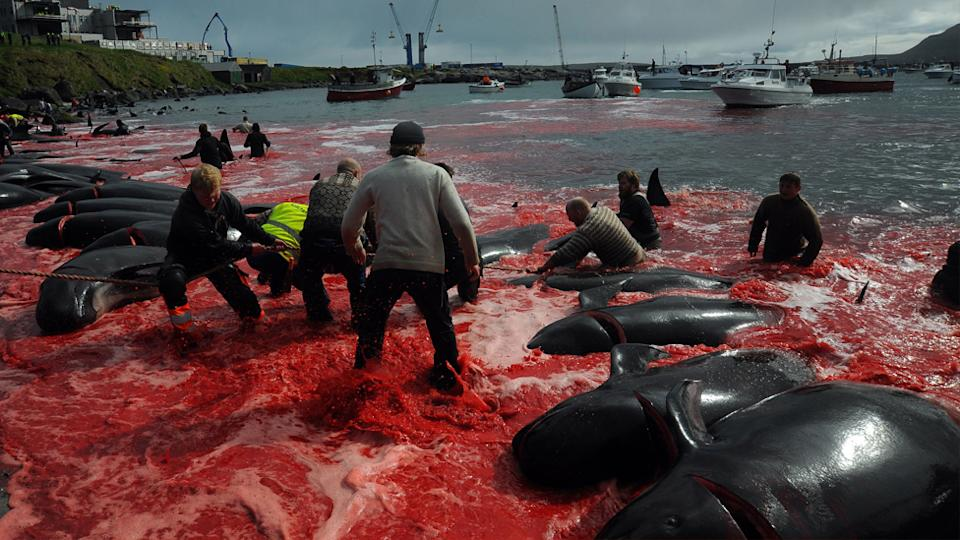 The annual whale hunt in the Faroe Islands.