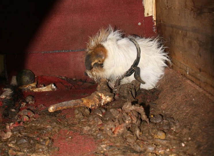 Frances the terrier chained up outside (RSPCA)