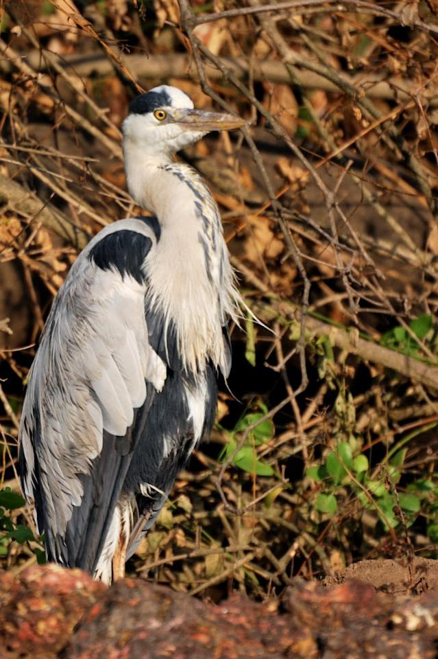 "Grey Heron <br><br>Not cranes, not storks, these large grey birds are herons. Note the long, fish-spearing beak. It was early in the morning as we sailed down the Zuari and spotted this Grey Heron (Ardea cinerea) on the river banks.  <br><br><br>Photo: <a target=""_blank"" href=""http://backpakker.blogspot.com"">Lakshmi Sharath</a><br><br><a target=""_blank"" href=""http://in.lifestyle.yahoo.com/submissions.html"">Submit your finest bird photographs</a> or share them with our Flickr pool. The best photos will be published here."