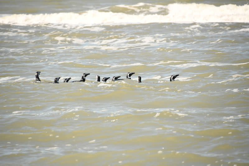 Rescued Magellanic penguins return to the sea in San Clemente del Tuyu, Buenos Aires
