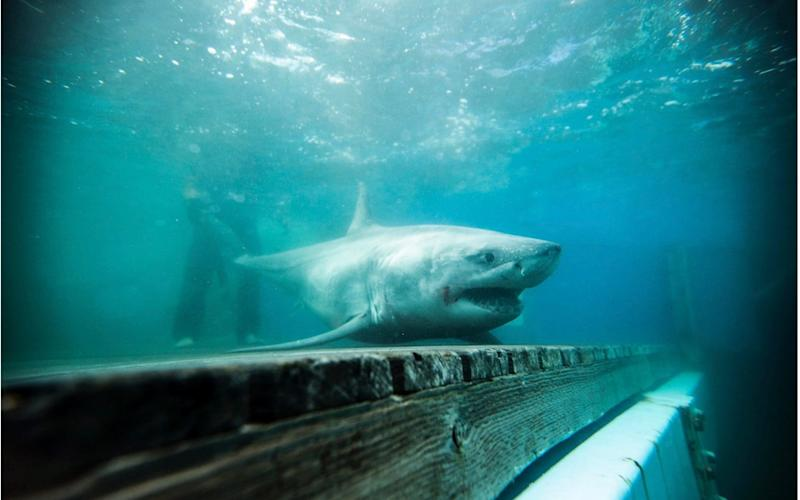 Cabot the great white shark was reportedly detected in Long island Sound - OCEARCH