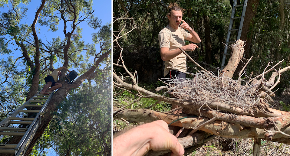 Left: Volunteers climb high to help put the eggs in another nearby tree. Right: The recovered nest. Source: Michael Dahlstrom