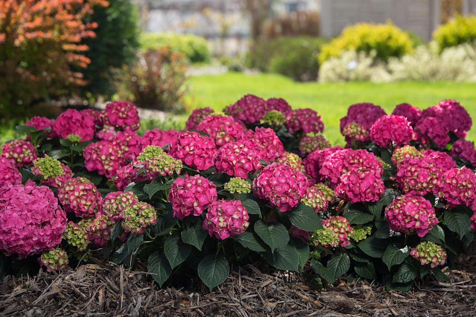 10 Stunning Hydrangea Varieties You Need To Know About