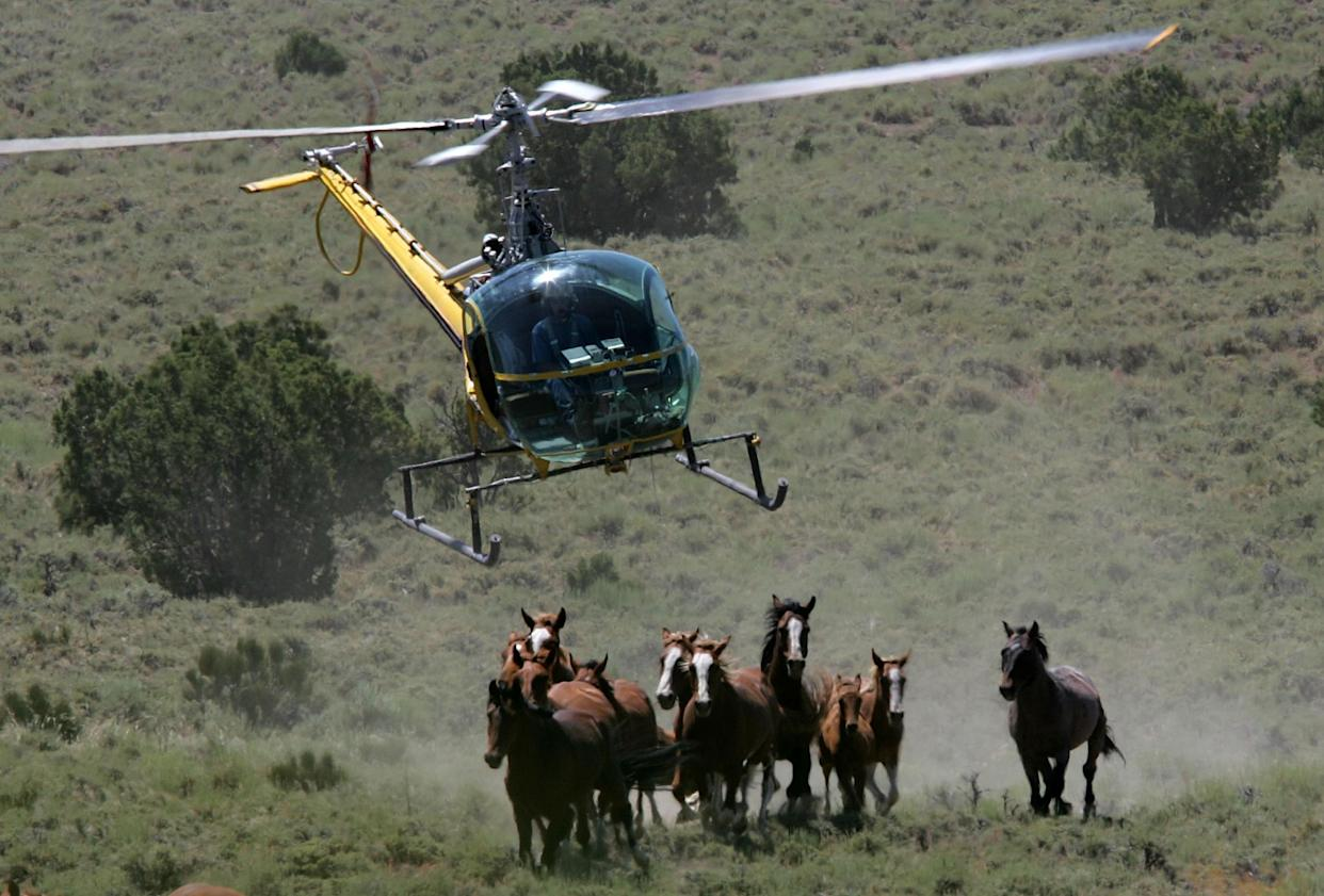 The US Bureau of Land Management rounds up a group of wild horses in Nevada: Justin Sullivan/Getty Images