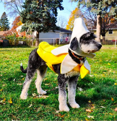 "<p>For that comedian canine in your life, dress your dog up as a banana. The costume is sure to get laughs and sure to keep your dog's head warm while he greets all the trick-or-treaters. <b><a href=""http://yahooshopping.pgpartner.com/plr.php?id=19796"" rel=""nofollow noopener"" target=""_blank"" data-ylk=""slk:Looking to buy this costume? Try"" class=""link rapid-noclick-resp"">Looking to buy this costume? Try</a> <a href=""http://yahooshopping.pgpartner.com/plr.php?id=19796"" rel=""nofollow noopener"" target=""_blank"" data-ylk=""slk:this"" class=""link rapid-noclick-resp"">this</a>. </b>Photo: Instagram/ @lauraecraig</p>"