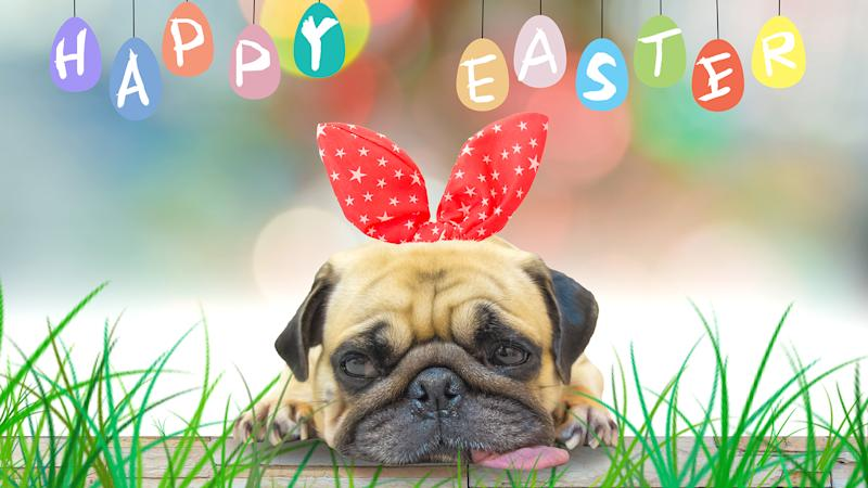 A young cute dog puppy Pug wearing Easter rabbit Bunny ears sitting next to a pastel colorful of eggs.