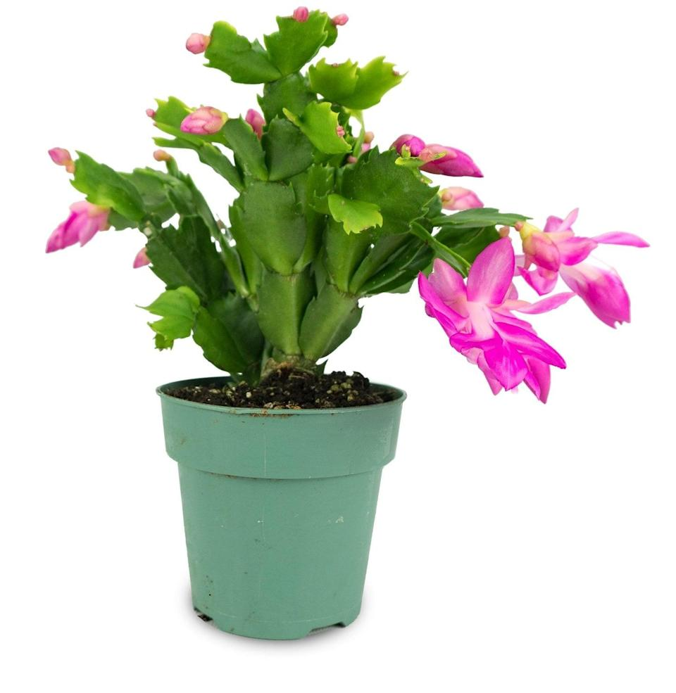 <p>Notice the bright pink flowers on this gorgeous <span>Christmas Cactus</span> ($8).</p>