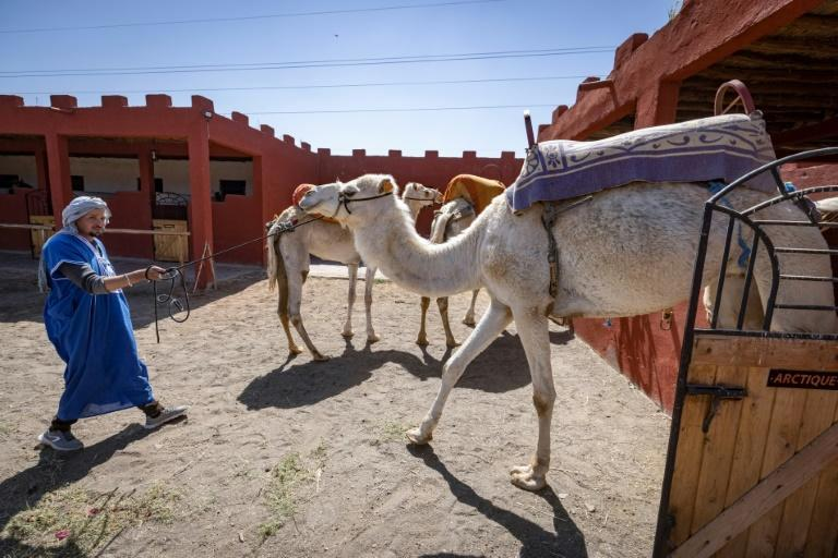 A member of Proust's team handles camels during a training session in the Moroccan city of Marrakesh