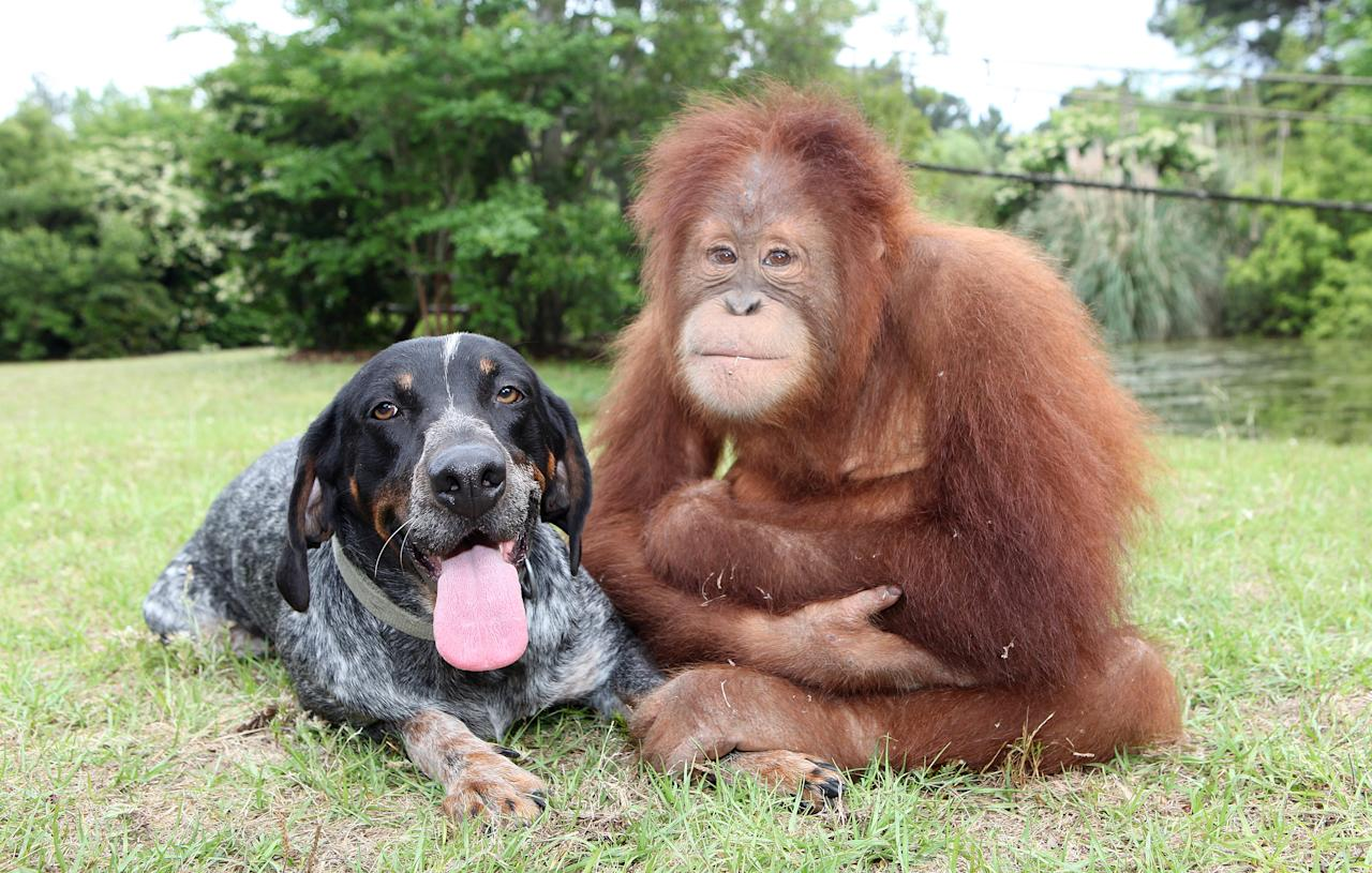 At a wildlife preserve in South Carolina, Suryia and Roscoe are inseperable.  Suryia is an orangutan and Roscoe is a Blue Tick hound.  (Photo credit: suryiaandroscoe.com)