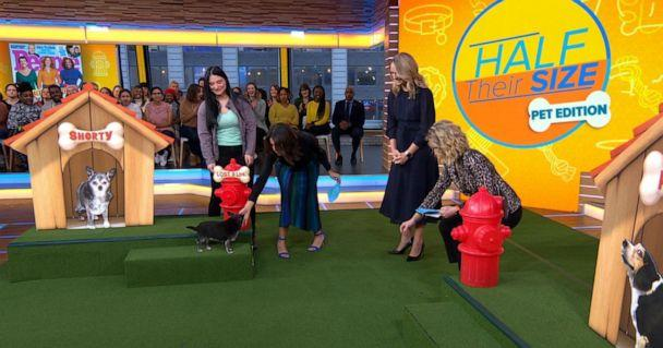 PHOTO: Shorty, a dog who lost nine pounds, appears on 'Good Morning America' on Friday, Jan. 10, 2019. (ABC)