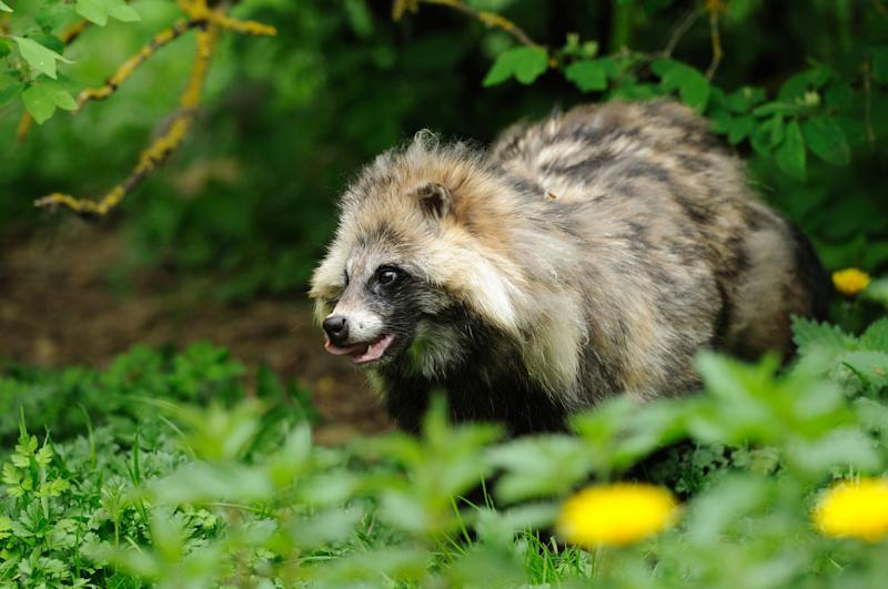 Raccoon Dog (Nyctereutes procyonoides) in thicket